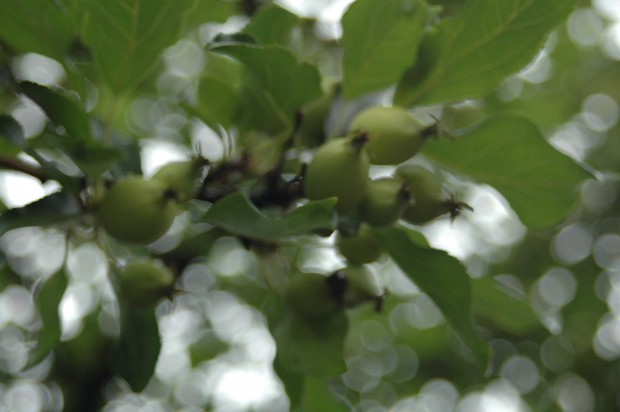Crabapple Tree (8.16.13, Anchorage, AK)