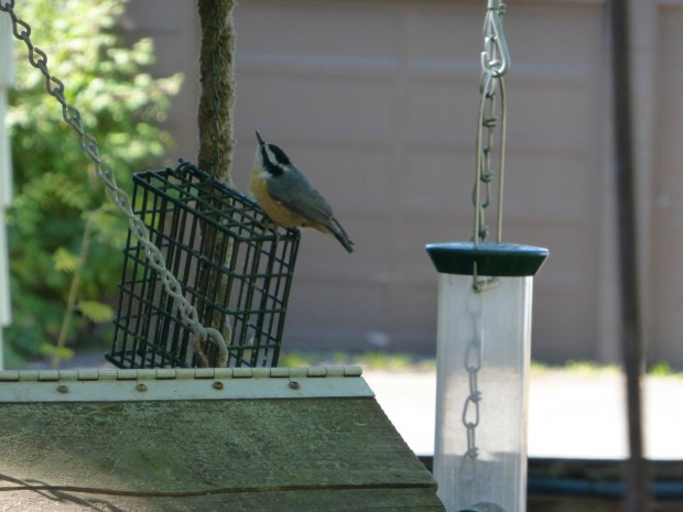 Nuthatch-- 8.11.15, Anchorage, Ak