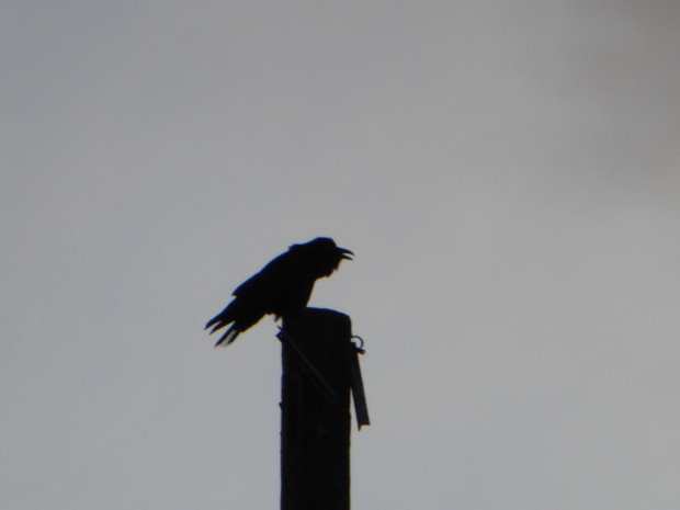 Raven on Eagle's pole speaking melodiously-- 2.17.16, Anchorage, Ak